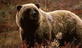 Grizzly via https://commons.wikimedia.org/wiki/File:Grizzlybear55.jpg?uselang=en-gb